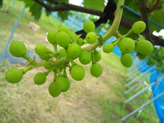 grape_garden2