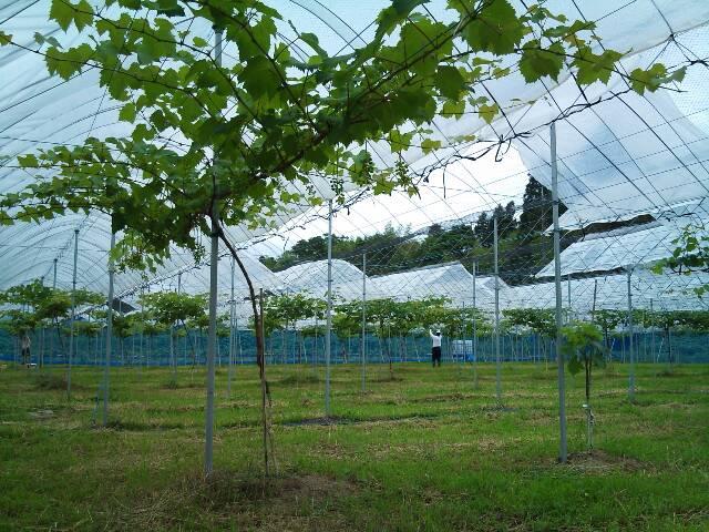 grape_garden3