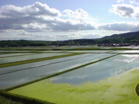 rice_field6