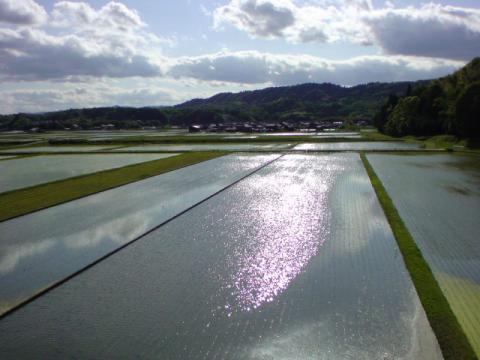 rice_field7