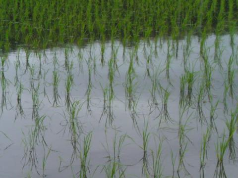 rice_field127