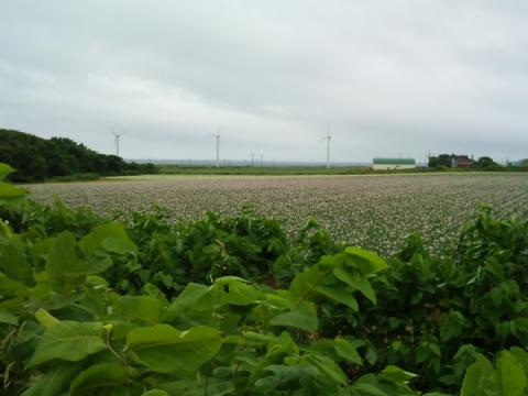 potato_field