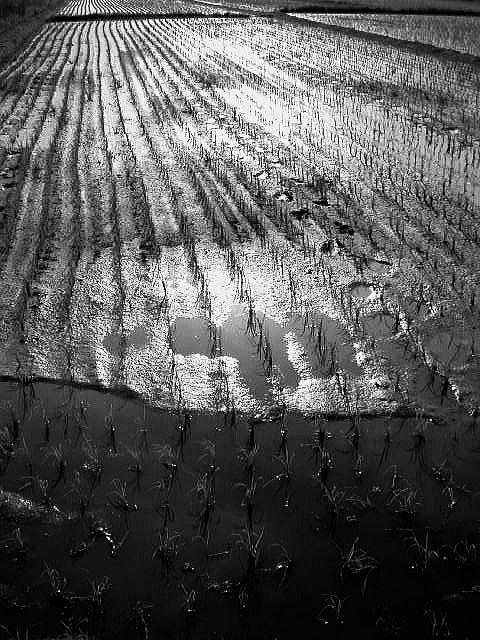 ricefield1b
