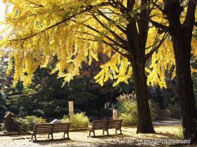 イチョウの木の下のベンチ♪