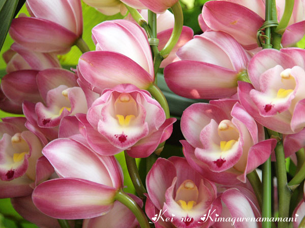 ピンクの蘭♪