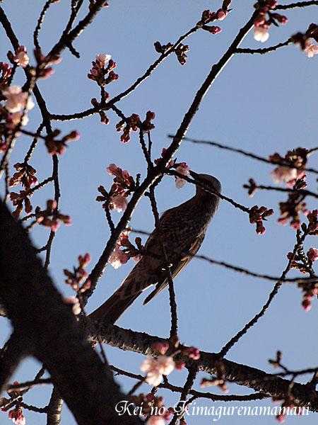 安行寒桜♪
