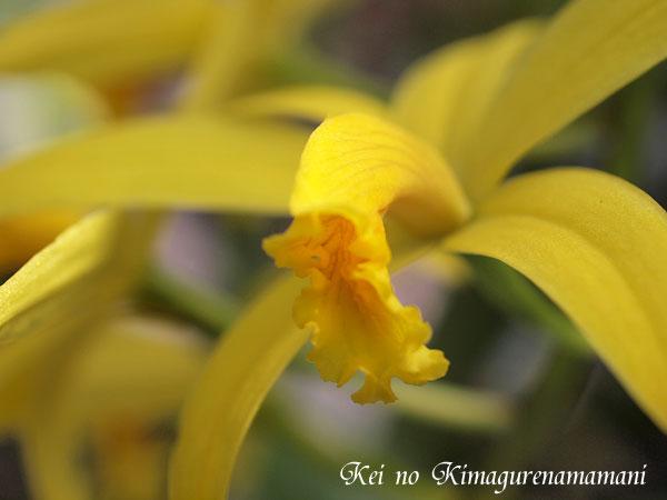 黄色い蘭♪