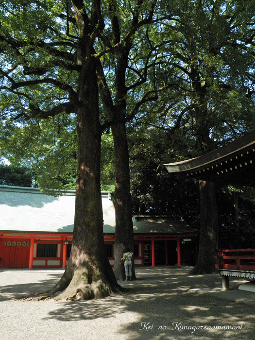 *** 大宮氷川神社の巨木♪