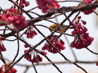 寒緋桜&メジロ♪