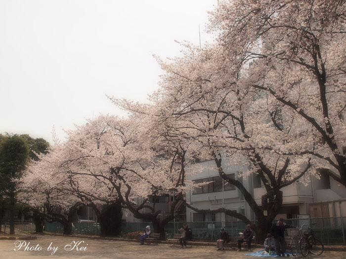 ご近所公園の桜♪