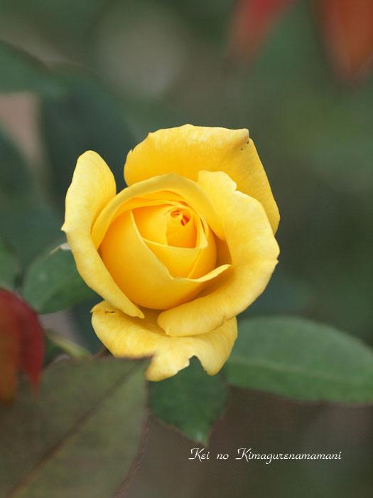 黄色い薔薇♪