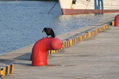 港のカラス