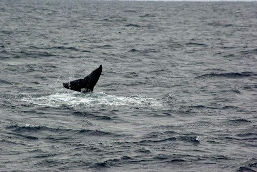 子クジラ テールスラップ
