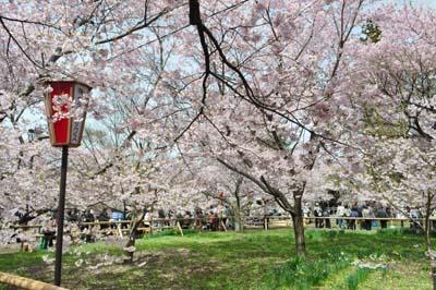 桜だらけ・・・