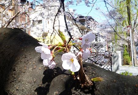 2011京都の桜