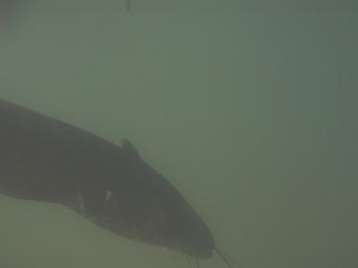 水中ナマズ