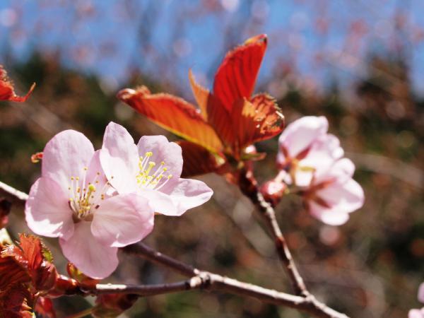 紅桜公園6