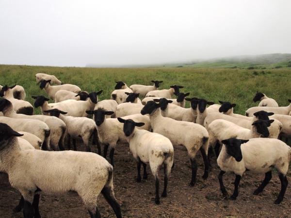 焼尻めん羊牧場4