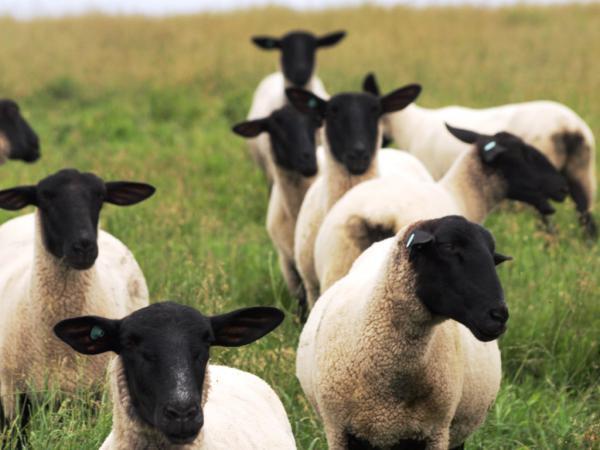 焼尻めん羊牧場5