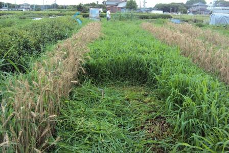 麦の周りの野草