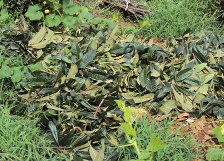 大量のびわの葉