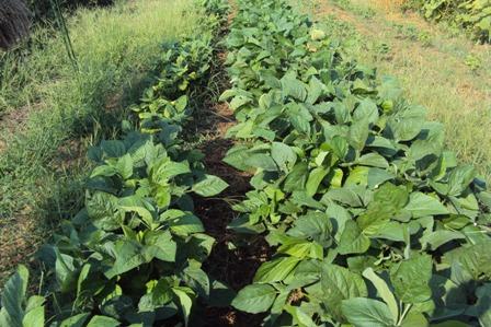 大豆の生長の違い