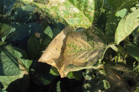 虫に食われた大豆の葉