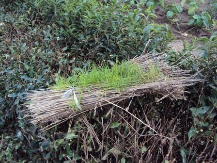 麦わらの束から発芽