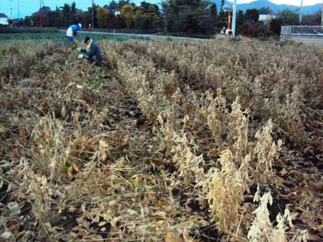 葉刈り中の大豆畑