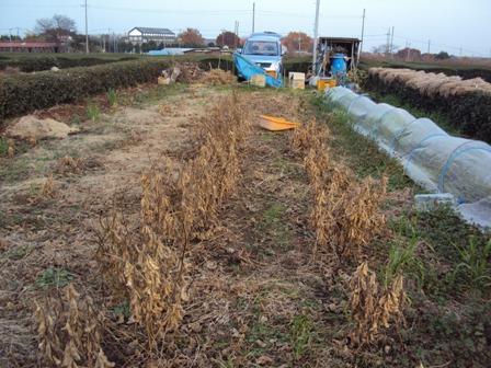 畑で枯れた大豆