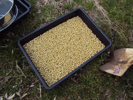 脱穀した大豆
