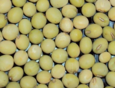 綺麗な大豆