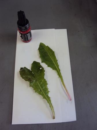 ハート型のタンポポの葉