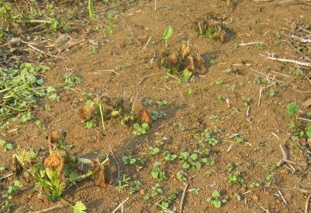 霜害で葉が枯れたジャガイモ