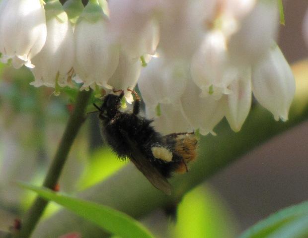 ブルーベリーと蜂