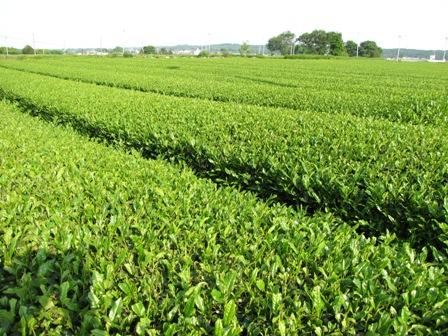 新緑のお茶畑