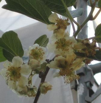 キウイの雄花