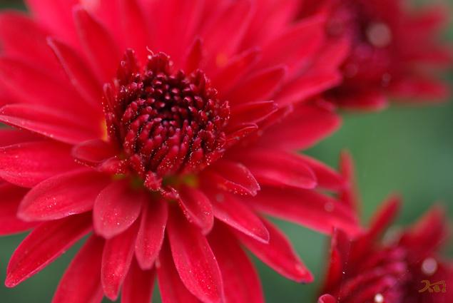 091024小菊の里10