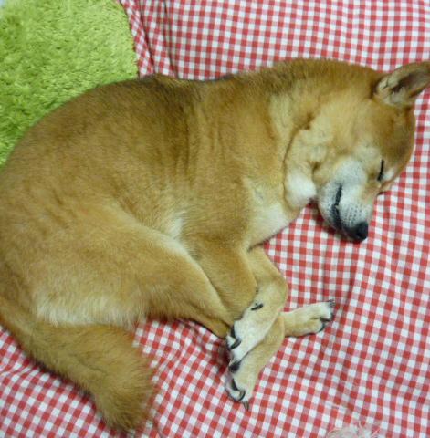 抜け殻の形で寝るコロ