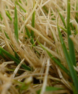 芝生も緑に