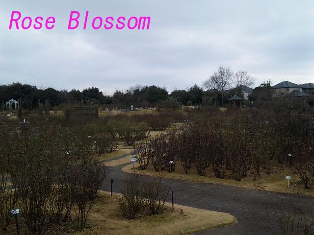 京成バラ園20100129