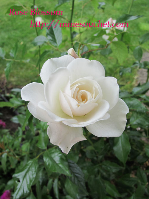 rose20110610.jpg