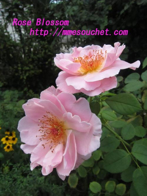 rose201108281.jpg