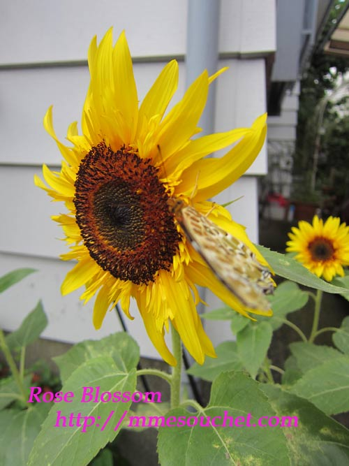sunflower20110831.jpg