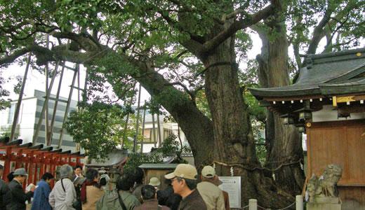 神戸の文化財めぐり2009・神前の大クス-1