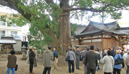 神戸の文化財めぐり2009・神前の大クス-2