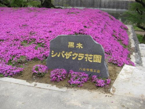 黒木町の芝桜