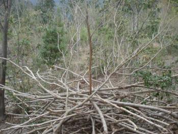 桑の木ブランチベルト