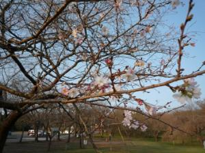 寒桜が咲いていました