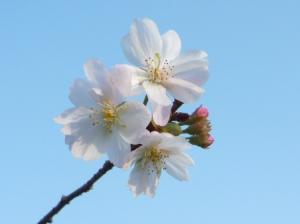みごとに桜です